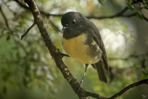 Toutouwai - New Zealand Robin - Petroica australis