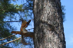 Squirrel (John_T1) Tags: blue sky brown tree green pine finland spring squirrel branch cone may 2007 jesters sprucecone