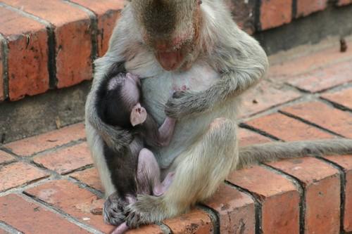 Monkeys in Lop Buri