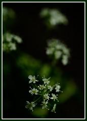 Petit (Kirsten M Lentoft) Tags: white flower macro green garden dof petit naturesfinest momse2600 diamondclassphotographer flickrdiamond kirstenmlentoft