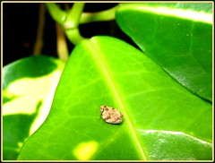 A Planthopper (Homoptera) of family Issidae on a croton leaf, taken May 5, 2007