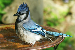 Splish Splash (nature55) Tags: nature birds outdoors bath jay aves bluejay bathtime soe naturesfinest instantfave flickrsbest nature55 abigfave 29explore impressedbeauty ultimateshot avianexcellence