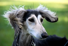 wind dog (Dan65) Tags: dog green dogs amazing explore lover fifi sighthound 91 saluki windhund abigfave memorycornerportrai