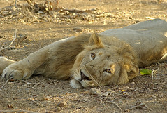 Asiatic Lion resting (wildlens) Tags: trip travel wild vacation en india holiday nature horizontal asian photography photo nikon asia close natural photos wildlife indian  cr gujarat thepca iucn jadeja criticallyendangered 70300g pantheraleopersica manjeet yograj manjeetyograjjadeja