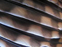 Wing feathers <span class=