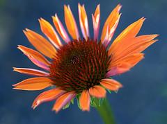 Cone Flower (ScreaminScott) Tags: flowers red orange macro closeup naturesfinest fantasticflower anawesomeshot auniverseofflowers