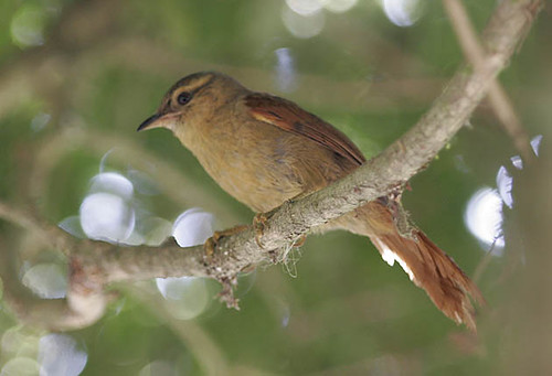 Red-faced Spinetail, juvenile