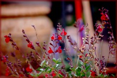 Feeling of Relaxation (Mamahoot~) Tags: red sage flowerpot relaxation gardentools bokehwhores iloveworkinginmyyard