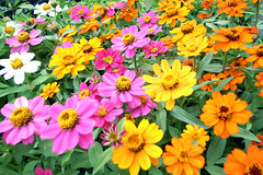 Flower labyrinth (Marie Eve K.A. (Away)) Tags: pink orange plants flower color colour nature yellow garden botanic zinnia naturesfinest impressedbeauty impressedbyyourbeauty goldstaraward
