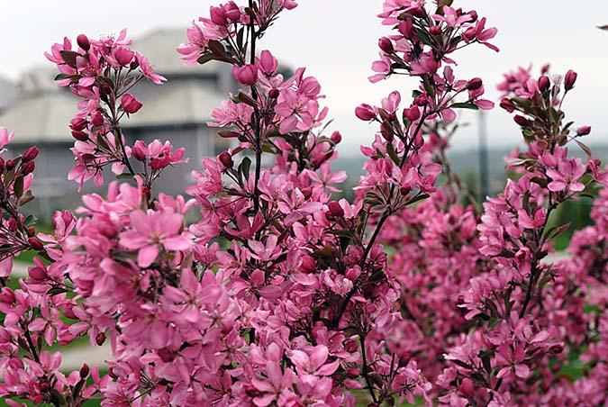 Flowering tree3557