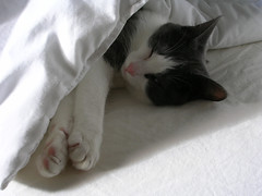 eyes close (Arctic Lovers Rock) Tags: white cat fur grey bed gray spot sheets marilynseries