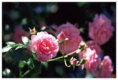Rose 070520 #21
