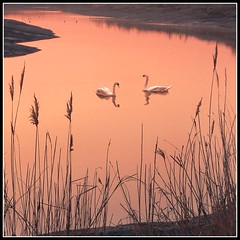 Tranquility (adrians_art) Tags: pink red england orange water birds animals sunrise reflections geotagged dawn kent searchthebest