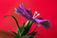 Life (joto25) Tags: life red flower green love leaves leaf force purple spirit passion dianthus chinensis joto25 naturesfinest stiffies abigfave tribeofbeautyfreedompeace searchandreward thoughtidbetterpostsome colourfulimagesafterthelastfew jotography