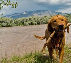 Fetched! (benrobertsabq) Tags: dog storm newmexico clouds goldenretriever river spring cloudy walk albuquerque hike abq thunderstorm corrales nm chaco riogrande sandiamountains