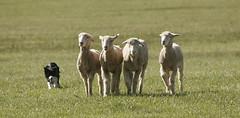 Sheepdogging