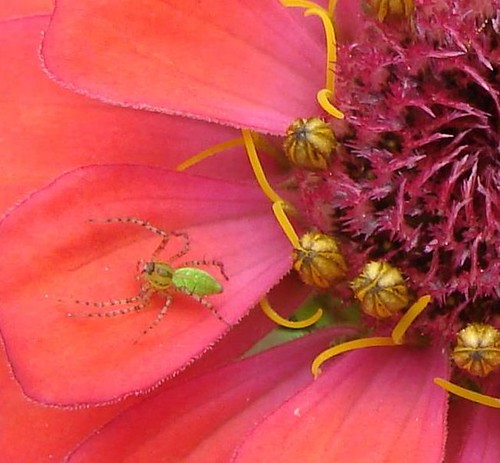 Zinnia and spider