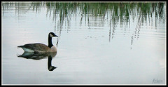 Majestic Reflection (ReneYoshi) Tags: canada reflection water one pond goose solitary naturesfinest diamondclassphotographer flickrdiamond
