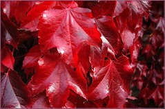 FRIENDLY DEDICATED TO A GREAT PHOTOGRAPHER, RAYD'S (ABUELA PINOCHO ) Tags: red eye leaves hojas rouge rojo friendly dedicated soe feuilles hiedra aplus amitie naturesfinest beautifulearth dedicatoria instantfave a mywinners abigfave rayds shieldofexcellence ltytrx5 anawesomeshot aplusphoto ltytr2 ltytr1 superbmasterpiece beyondexcellence goldenphotographer flickrdiamond shiningred citrit excellentphotographersaward naturewatching heartawards amistosamente dedie a3b photosexplore photoexplore photosexploregroup