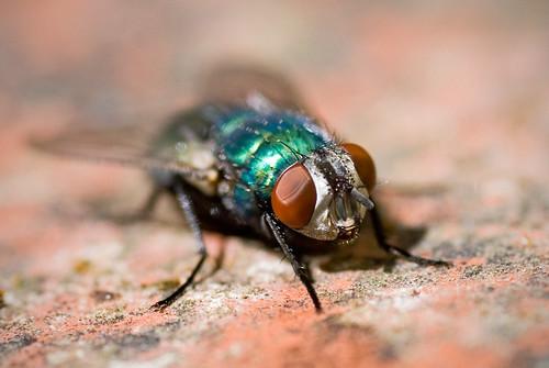 Green shiny fly on brick