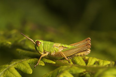 "Grasshopper(3) • <a style=""font-size:0.8em;"" href=""http://www.flickr.com/photos/57024565@N00/519782066/"" target=""_blank"">View on Flickr</a>"