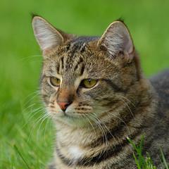 Tiger (Mats&Muffi) Tags: pet cats pets animal cat nikon tabby tiger kitty d200 cc100 kissablekat