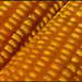 corn image, photo or clip art