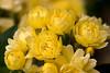 Yellow Roses (olvwu | 莫方) Tags: usa flower macro rose yellow ga georgia spring yellowflower yellowrose savannah jungpangwu oliverwu oliverjpwu olvwu jungpang 莫方 吳榮邦