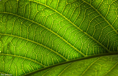 Leaf (Thad Zajdowicz) Tags: leaf foliage flora plant macro green veins detail diagonal pattern shadow zajdowicz sanmarino california canon eos 5d3 5dmarkiii dslr 100mm primelens outdoor outside nature color colour texture light organicpattern availablelight lightroom concept abstract ef100mmf28lmacroisusm depthoffield