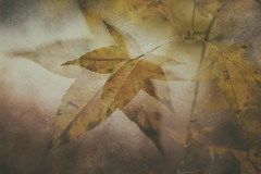 A few last leaves (catkin314) Tags: light leaves colour shapes abstract faded trees intowinter