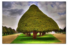 350 year old Yew tree (Giorgos~) Tags: uk travel gardens garden uv palace hamptoncourt hdr giorgos naturesfinest photomatrix impressedbeauty aplusphoto bratanesque thegoldenmermaid