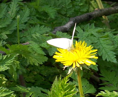 Small White in Russia Dock Woodland