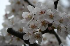 Sakura - Seibuen