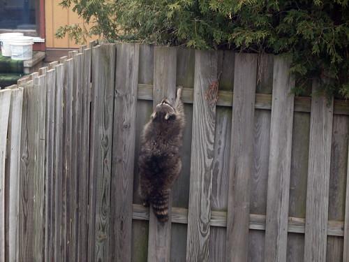 Raccoon getaway
