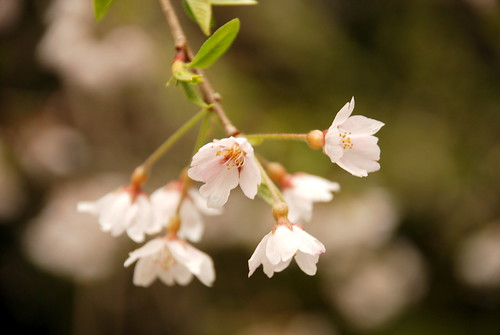 Varieties of Cherry Tree in Japan