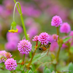 Bee pollinating a flowering ground cover - by Martin_Heigan