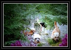 "Stork meets Dandies (""luna caprese"") Tags: dog dogs terrier hund trophy hunde naturesfinest dandie dinmont flickrsbest anawesomeshot impressedbeauty superbmasterpiece diamondclassphotographer tiggleschoice pet100"