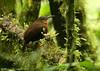 Tawny-throated Leaftosser (Michael Woodruff) Tags: bird southamerica birds canon ecuador birding sa cloudforest 30d subtropics understory tandayapa tandayapavalley nwecuador tawnythroatedleaftosser tawnythroated leaftosser sclerurusmexicanus sclerurus