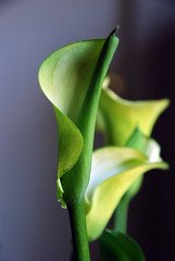 Calla Lily (Alison Chains) Tags: flowers flower callalily