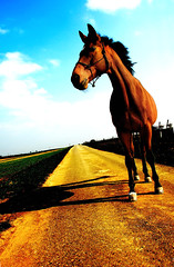 long way from home (Dan65) Tags: road horse sunshine yellow cheval saturated straight asphalt narrow pferd thoroughbred karakum vollblut