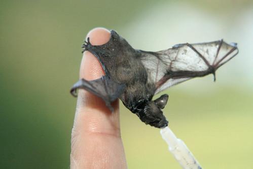 foto de murciélago bebé