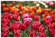 Tulip(Fil,m) 070414 #09