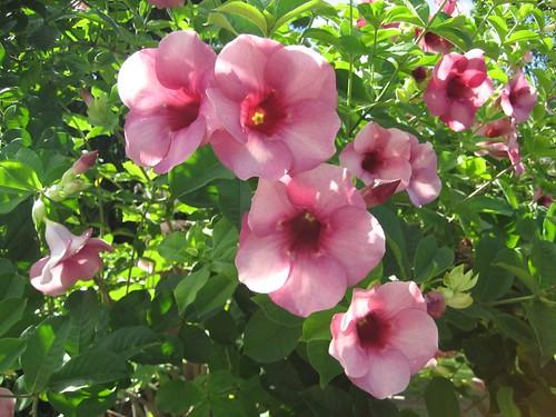 Nuku Hiva flower