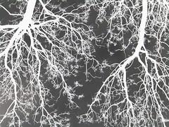 Jacaranda alveolar (El Seor Cacomixtle) Tags: