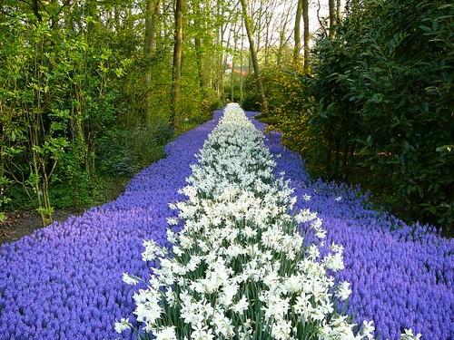 Purple carpet, Keukenhof flower park #19
