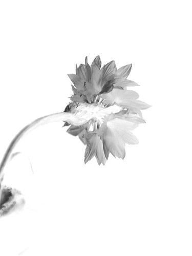 Cornflower High Key