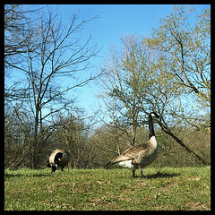 Geese (propheci) Tags: 120 tlr film mediumformat iso100 geese indianapolis indiana slide goose transparency fujifilm yashica squarecrop scannedslide eaglecreek astia fujiastia100 astia100 eaglecreekpark astia100f yashica635
