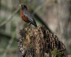 American Robin by Birdfreak.com