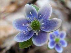 Macro Hepatica (Salamanderdance) Tags: show flower macro spring nectar pollen wildflower hepatica