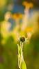 Distance (olvwu | 莫方) Tags: usa flower yellow ga georgia yellowflower savannah jungpangwu oliverwu oliverjpwu runset olvwu diamondclassphotographer flickrdiamond jungpang 莫方 吳榮邦
